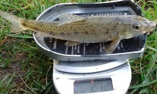 Gudgeon on scales